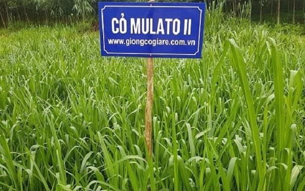 combo 3d - 3 loại giống cỏ chăn nuôi giá rẻ