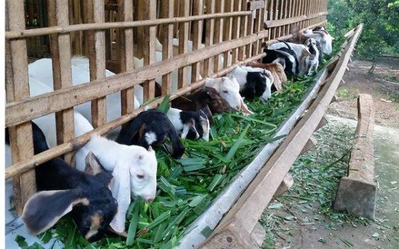Cỏ Chăn nuôi dê cừu hươu nai