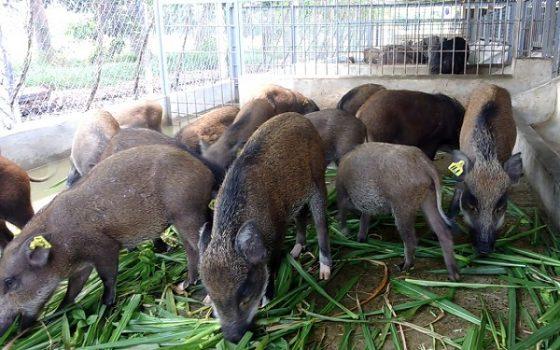 Cỏ Nuôi Heo Rừng Lợn Rừng