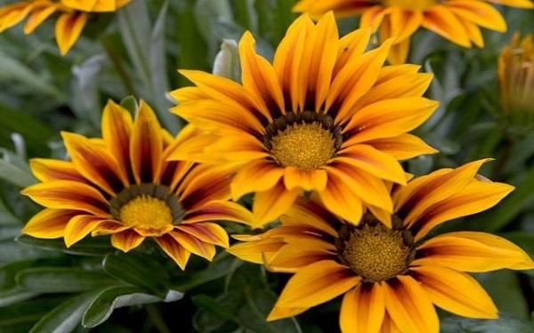 giống hoa cúc gazania
