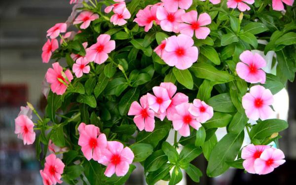Giống Hoa Dừa Cạn Nhiều Màu