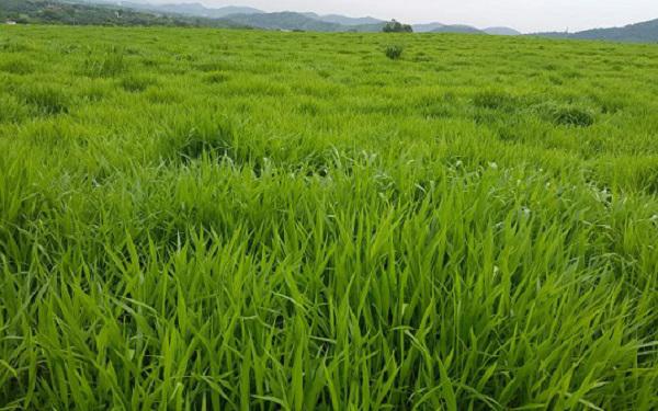 combo giống cỏ chăn nuôi
