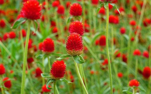 Hoa Cúc Bách Nhật Đổ