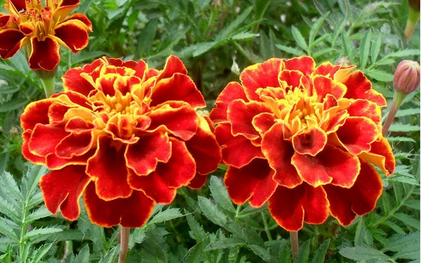 Giống Hoa Vạn Thọ Pháp Nhiều Màu